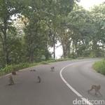 Ratusan Monyet Invasi Ruas Jalan Alas Roban Batang
