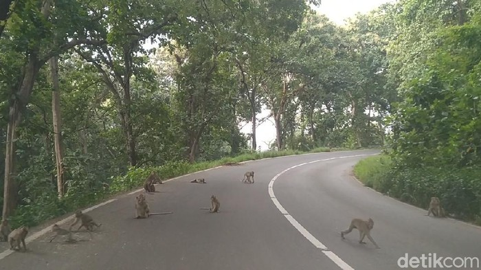 Monyet ekor panjang di jalanan Alas Robang, Batang