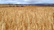 Australia Akan Adukan China ke WTO soal Tarif Impor Gandum