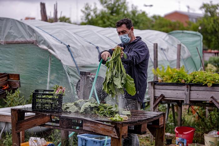 Para relawan memanen sayuran organik di Madrid, Spanyol, (12/5/2020). Lahan sayuran tersebut dipersiapkan sejak April lalu untuk membantu suplai makanan pada masa pandemi COVID-19.