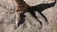 Tiap kaki kasuari memiliki tiga cakar sepanjang 10 centimeter. Itu memungkinkannya memotong predator dengan satu kali tendangan, menurut San Diego Zoo