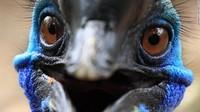 Kasuari juga dapat berlari di kecepatan 48 kilometer per jam melalui hutan lebat dan melompat hingga ketinggian 2 meter.Tiga spesies kasuari berasal dari bagian utara Queensland, Australia dan Papua. Makanan mereka adalah buah-buahan