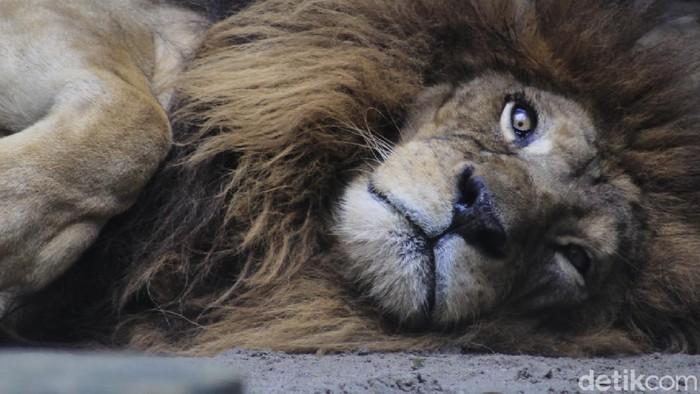 Perhimpunan Kebun Binatang Seluruh Indonesia (PKSBI) harap-harap cemas menanti kebijakan pemerintah untuk memperbolehkan kebun binatang dibuka kembali usai PSBB.
