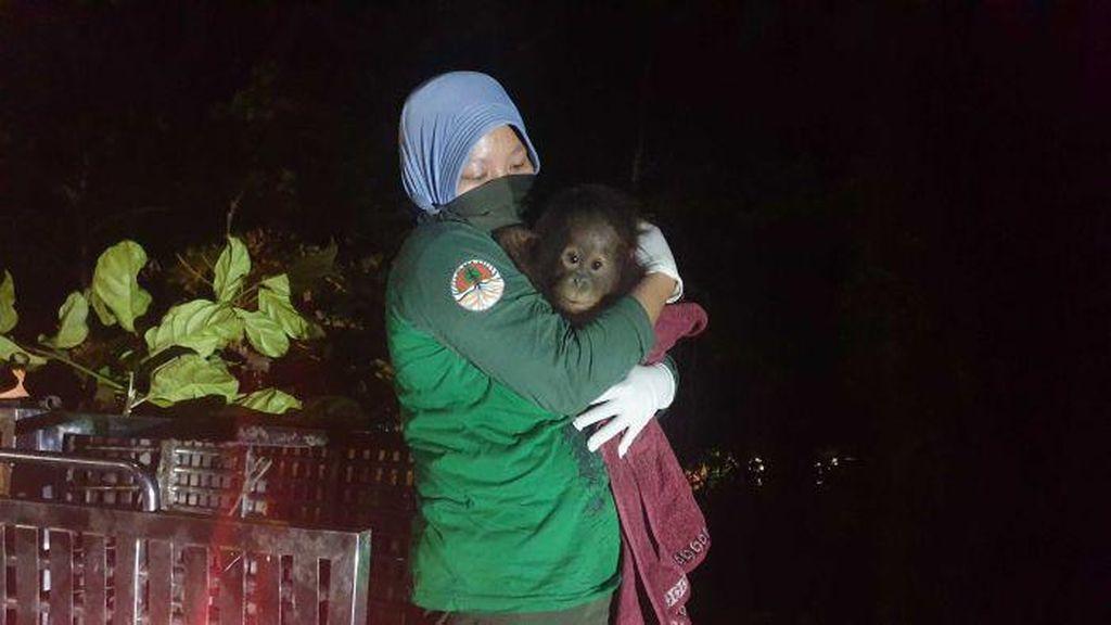 Bayi Orangutan Berhasil Diselamatkan Setelah Pemiliknya Takut Tertular Corona