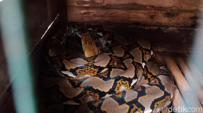 Salah satu ular yang berhasil ditangkap warga di Klaten