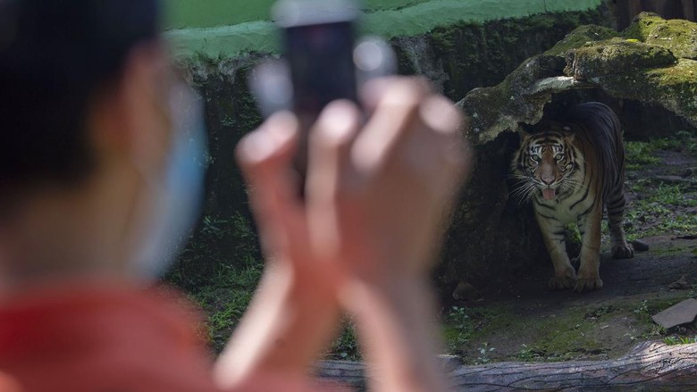 Harimau sumatera menyantap daging saat proses pengambilan gambar video untuk siaran langsung melalui media sosial di Taman Margasatwa Ragunan, Jakarta, Minggu (17/5/2020). Siaran langsung polah dua harimau bernama Hana dan Tino itu bertujuan untuk memberikan wawasan tentang satwa dan hiburan kepada masyarakat selama masa pandemi COVID-19. ANTARA FOTO/Aditya Pradana Putra/foc.