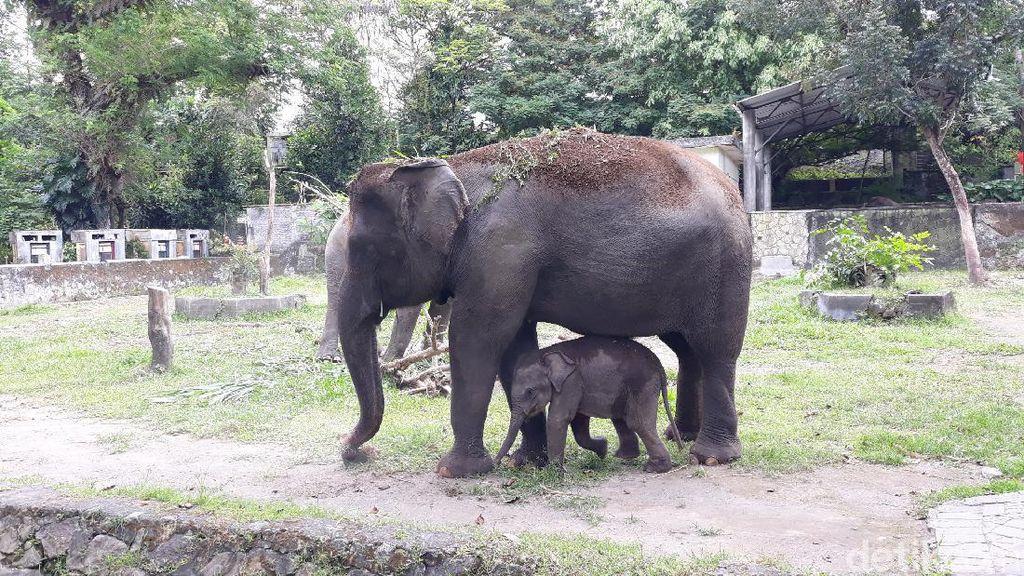 Kabar Bahagia Saat Pandemi Corona, Seekor Anak Gajah Lahir di GL Zoo