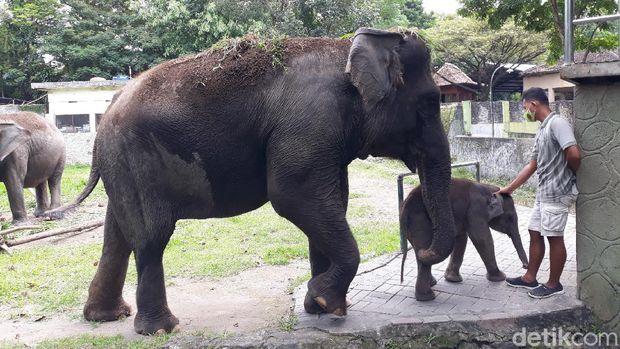 Seekor anak gajah yang lahir di Gembira Loka (GL) Zoo Yogyakarta saat pandemi Corona, Senin (18/5/2020).
