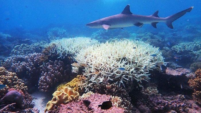 Pemutihan terumbu karang: Ilmuwan temukan cara membuat terumbu karang lebih tahan panas