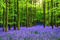 Setahun sekali, permadani biru hijau menyelimuti Cagar Alam Hutan Dockey Inggrisdekat London. Destinasi yang dikelola oleh National Trust ini mampu menarik ribuan pengunjung.