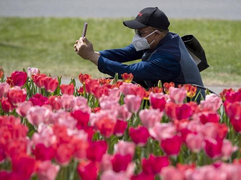 Bunga tulip warna-warni mekar di Commissioners Park, Ottawa, Ontario, Kanada. Festival tulip ini berlangsung di tengah pandemi Corona yang terjadi di negara tersebut.