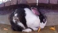 Tak Hanya Manusia, Kelinci di AS Tengah Menghadapi Virus Mematikan