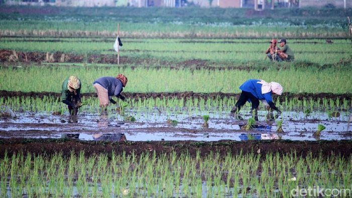 Sejumlah petani padi di Kecamatan Solokanjeruk, Kabupaten Bandung, Jawa Barat, menggarap sawahnya, Selasa (19/5/2020).