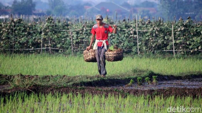 Para petani tetap menggarap sawahnya saat sebagian orang memilih di rumah saat pandemi Corona. Seperti terlihat di areal persawahan Solokanjeruk, Bandung.