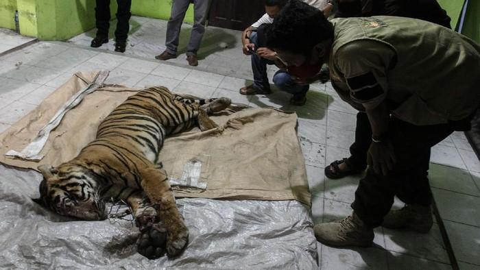 Petugas Balai Besar Konservasi Sumber Daya Alam (BBKSDA) Riau memperlihatkan sling besi yang dijadikan jeratan seekor Harimau Sumatera (Panthera tigris sumatrae) yang mati saat dilakukan nekropsi , di Kantor BBKSDA Riau, di Pekanbaru, Riau, Senin (18/5/2020) malam. Harimau Sumatera jantan ini ditemukan mati di area konsesi PT Arara Abadi, Desa Minas Barat dengan kondisi kaki terluka parah akibat terkena jeratan. ANTARA FOTO/Rony Muharrman/foc.