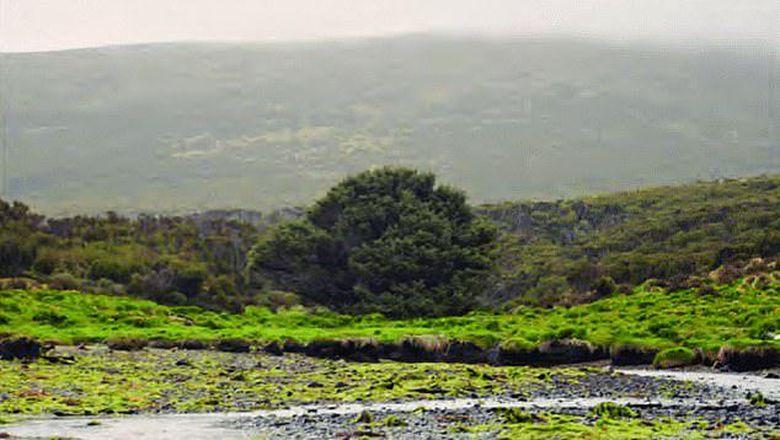 Pohon Sitka Spruce di Campbell Islands, Selandia Baru