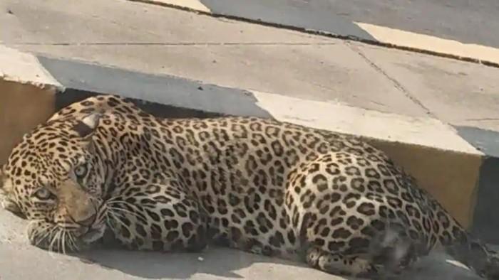 Macan tutul turun ke jalan
