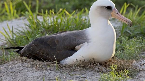 Burung tertua yang dikonfirmasi di dunia dan berada di alam liar berusia 68 tahun. Burung ini sudah diberi label pada tahun 1956, yakni burung albatros bernama Laysan