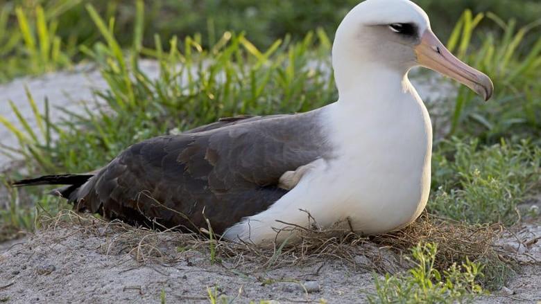 Laysan, burung albatros