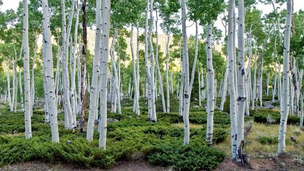 Hutan berumur sekitar 80.000 tahun. Negara bagian Utah memiliki hutan yang terdiri dari hampir 50.000 pohon aspen. Seluruh hutan hanya ditumbuhi tumbuhan populus tremuloides yang identik secara genetik dan memiliki sistem akar tunggal.