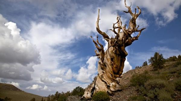 Pohon tunggal berumur 5.000 tahun. Methuselah, pohon pinus bristlecone di Pegunungan Putih California. Inilah organisme non-kloning tertua di Bumi.