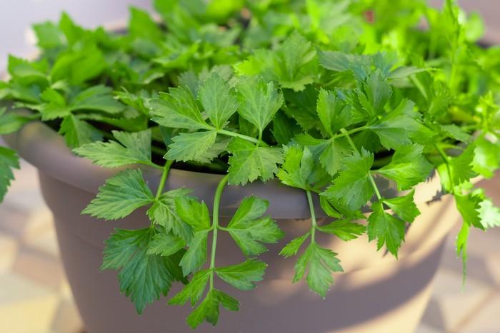 Fresh homegrown celery in home garden pot
