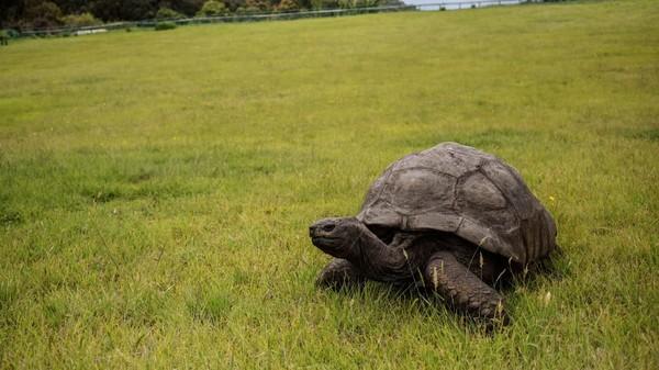 Kura-kura 187 tahun. Jonathan, kura-kura yang tinggal di Pulau St. Helena, sebuah pulau kecil di Atlantik Selatan, lahir sekitar tahun 1832