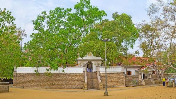 Pohon Tin atau Ara 2.300 tahun. Pohon tin atau ara yang jadi tempat Siddhartha Gautama mendapat pencerahan sudah lama hilang. Tapi potongannya, yang dibawa oleh seorang pemuja kerajaan ke Sri Lanka sekitar 250 SM, dikenal dengan nama Jaya Sri Maha Bodhi.