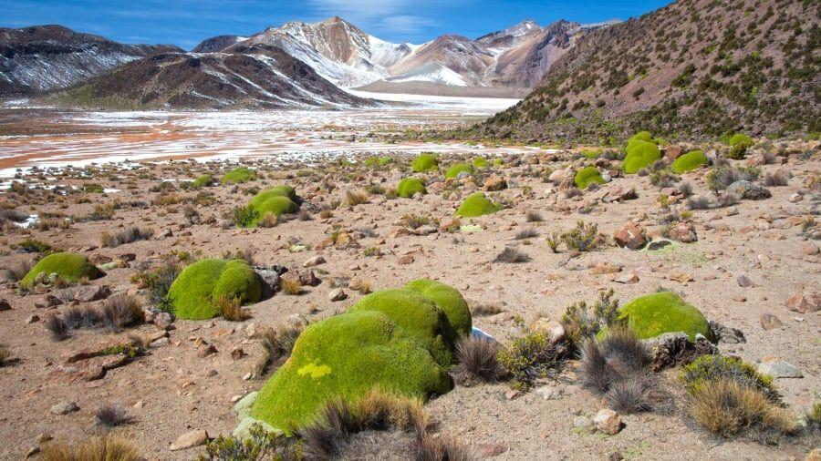 Yareta atau llareta di Pegunungan Andes