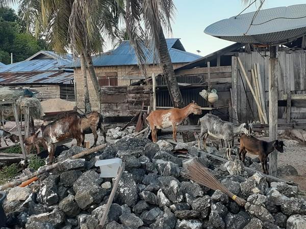 Bisa dibilang semua warga di sini punya kambing. Kambing mereka dilepas dan dibiarkan untuk mencari makan sendiri. (dok Istimewa/Hari Suroto)