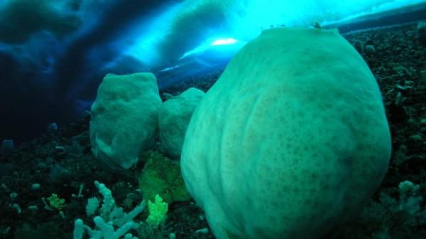 Spons Antartika sekitar 15.000 tahun. Bernama anoxycalyx joubini, ini adalah gumpalan putih yang menyerupai tong bir raksasa atau gunung berapi mini. Keberadaan mereka jadi penghias perairan dingin di sekitar McMurdo Sound. Perkiraan usia mereka didasarkan pada ukuran spons, yang hanya tumbuh sedikit setiap tahun.
