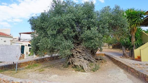 Pohon Zaitun 2.500 tahun. Tidak diketahui apakah pohon zaitun ini ditanam atau tumbuh sendiri antara 2.000-3.000 tahun lalu. Pohon ini ada di Pulau Crete, Mediterania. Hingga hari ini, pohon zaitun itu masih menghasilkan buah tahunan meski batang utama sudah begitu keriput.