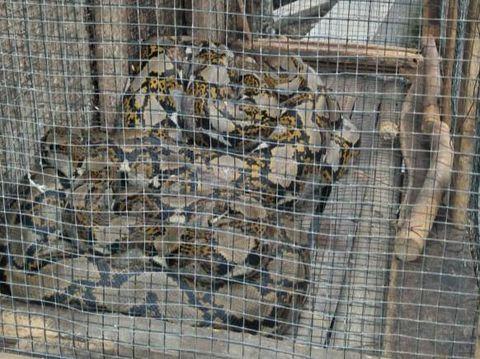 Warga di Klaten menemukan ular piton saat ronda, Kamis (21/5/2020).