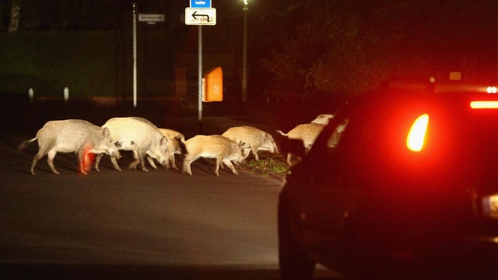 BERLIN - AUGUST 19:  A car slows to avod hitting a herd of wild pigs,which one eyewitness reported numbered 26 animals, on the edge of a public park in Zehlendorf district on August 19, 2008 in Berlin, Germany.Wild pigs are becoming an ever-more common site on the outskirts of Berlin, and have become notorious for digging up residences gardens. Some local authorities would like to hire hunters to kill the animals, though they also fear the image problems that might ensue.  (Photo by Sean Gallup/Getty Images)