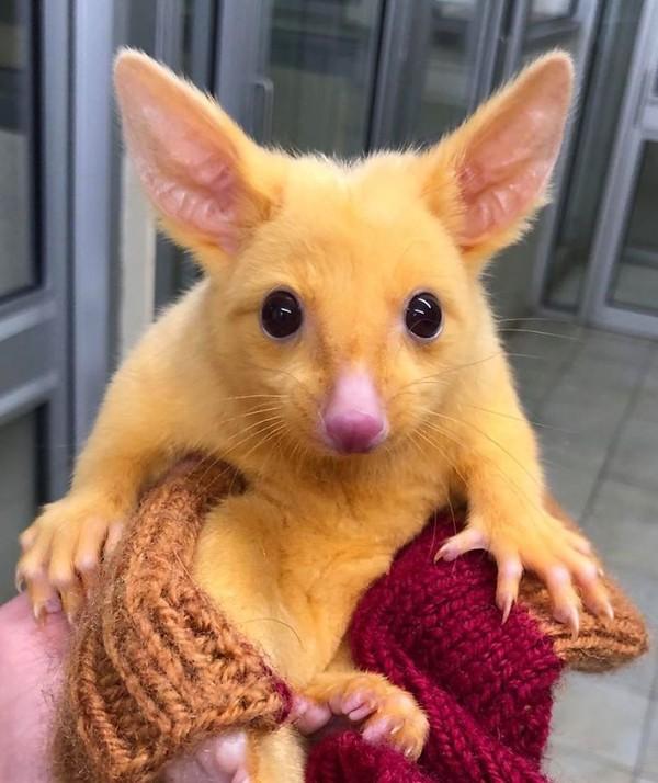 Australian Veterinary Clinic menyelamatkan seekor possum langka. Hewan imut ini terlihat langka karena warnanya yang tidak biasa, keemasan. (Boronia Veterinary Clinic And Animal Hospital/Facebook)