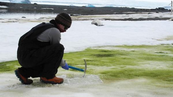 Para peneliti menyebutnya sebagai salju hijau. Mereka mengungkapkan bahwa ganggang hijau ini dapat menyerap karbon CO2 lebih banyak. (AFP/Matt Davey)