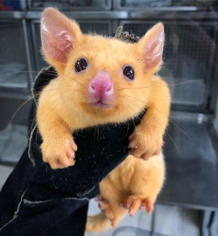 Possum keemasan