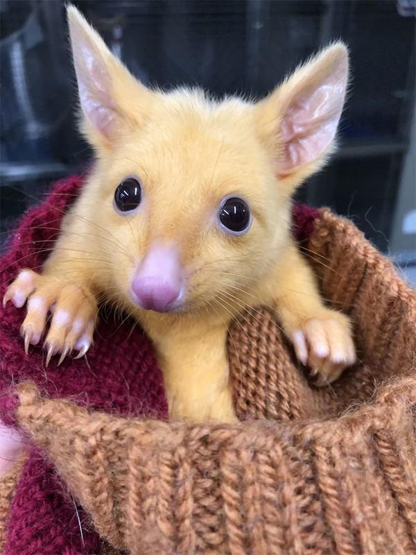 Possum merupakan spesies marsupial asli Australia, Papua Nugini dan sulawesi. Dan possum yang mirip Pikachu ini masuk dalam spesies brushtail possum atau dijuluki juga posum emas. (Boronia Veterinary Clinic And Animal Hospital/Facebook)