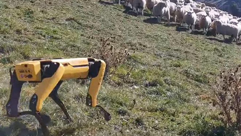 Canggih, Robot Ini Jadi Gembala Kawanan Domba