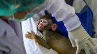 Demi Vaksin Corona Murah, Thailand Uji Cobakan Ke Monyet