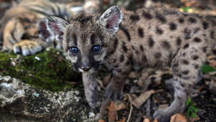 Puma lahir dengan nama Pandemic dan Quarantine