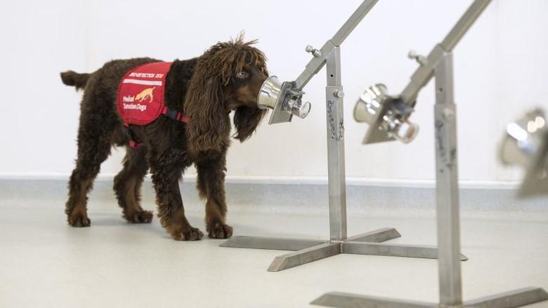 Anjing tengah dilatih agar bisa mencium bau orang yang terkena virus Corona di London.
