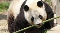 20 Tahun Tinggal di Jepang, Panda Ini Akhirnya Mudik ke China