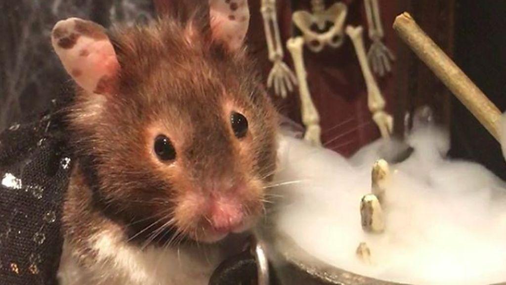 Gemas, Hamster Parodikan Aksi Manusia Saat #dirumahaja