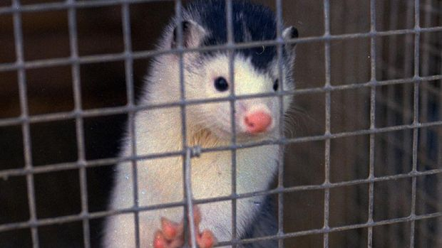 A closeup of a mink standing on its hind legs, peering out from inside a cage. Undated file photo.(AP PHOTO)