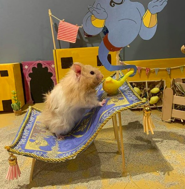 Di Instagram, kamu bisa melihat ragam pose hamster-hamster lucu ini. Mereka seperti manusia mini versi hamster dan sangat menggemaskan. (harcourt_hammies/Instagram)