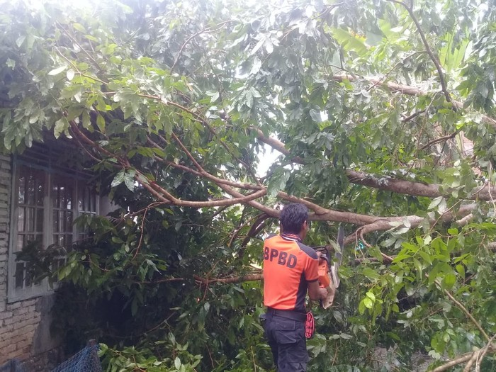 Pohon tumbang di Agam (Jeka-detikcom)