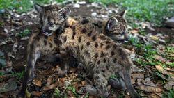 Lahir di Tengah Corona, Dua Puma Diberi Nama Pandemic dan Quarantine