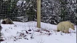 Beruang Putih yang Langka Terlihat Asyik Bermain di Kanada