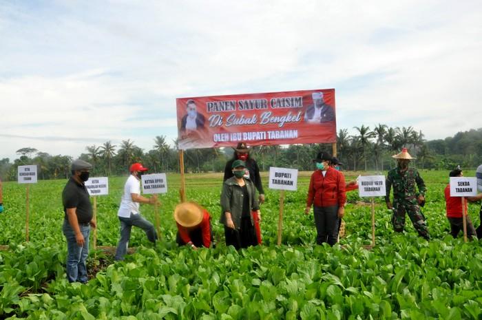 Bupati Tabanan Ni Putu Eka Wiryastuti memanen Sayur Sawi Hijau dari petani di tengah pandemi. Sayuran itu pun langsung disumbangkan untuk masyarakat Tabanan yang terdampak Corona.